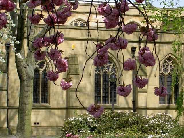 Blossom_at_Dewsbury_Minster_-_geograph.org.uk_-_361781
